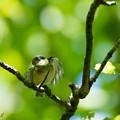 ヤマガラ幼鳥1