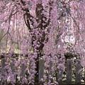写真: 弥勒寺の垂れ桜