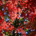 Photos: 曽木公園の紅葉