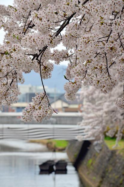 写真: 170417内川河川緑地公園の桜03