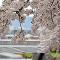 170417内川河川緑地公園の桜03