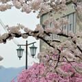 写真: 170417内川河川緑地公園の桜07