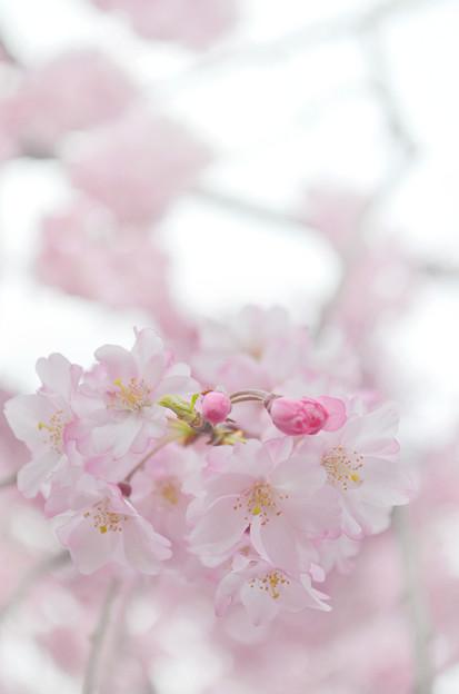 写真: 170417内川河川緑地公園の桜12