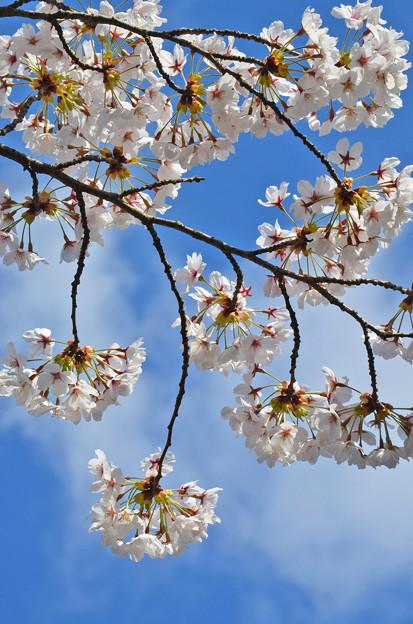 写真: 170422松ヶ岡開墾場の桜