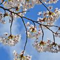 170422松ヶ岡開墾場の桜