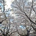 写真: 170422松ヶ岡開墾場桜並木03