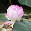 写真: 蓮の蕾