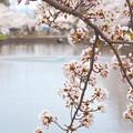 180414桜01