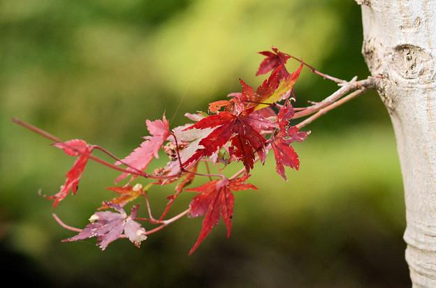 小さくても紅葉