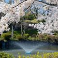 Photos: 200411桜18