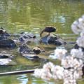 Photos: 200411桜19