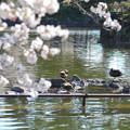 Photos: 200411桜20
