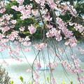 Photos: 200411桜21