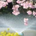 Photos: 200411桜22