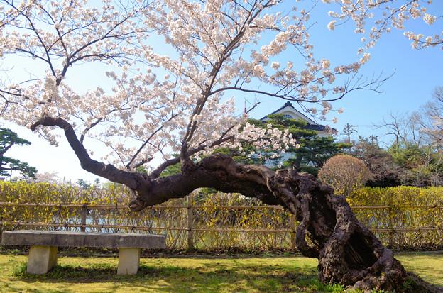 Photos: 200411桜23