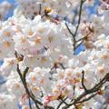Photos: 200411桜24