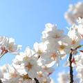 Photos: 200411桜25