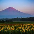ひまわりと富士山