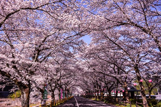 家山 桜トンネル