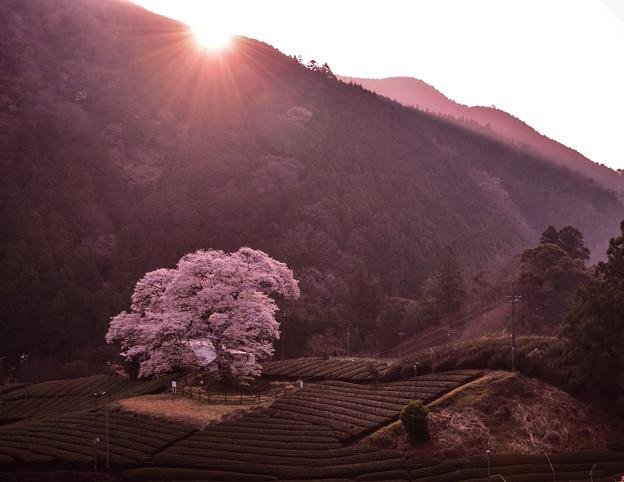 家山 水目桜
