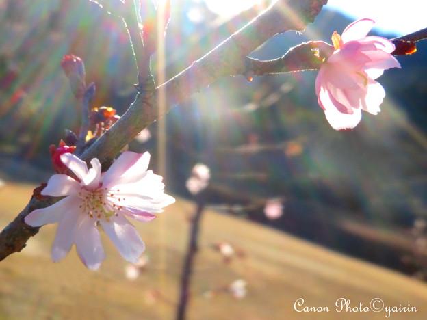 写真: 冬桜