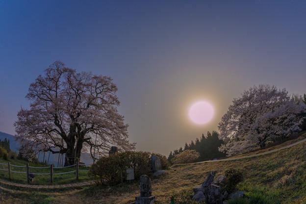 2018 醍醐桜