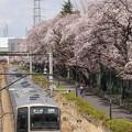 相模線と桜