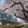 Photos: 桜と相模線(2)