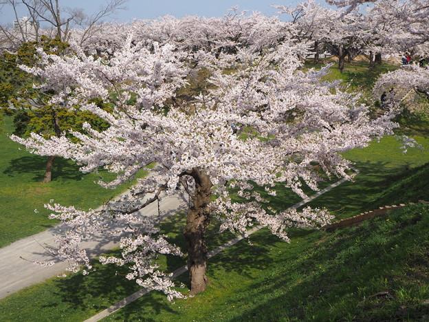 五稜郭の桜2
