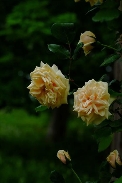 ブーケドール 'Bouquet d'Or' Ducher (仏 1872) N Gloire de Dijon × Seedling (3)