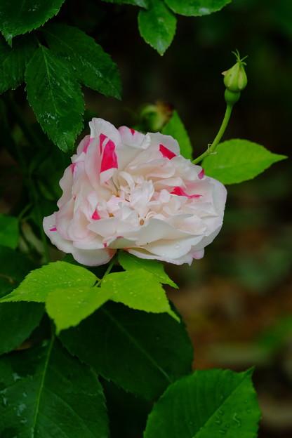 フォーチュンズファイブカラーローズ 'Fortune's Five-Colored Rose' Fortune (英 1844以前) T (3)