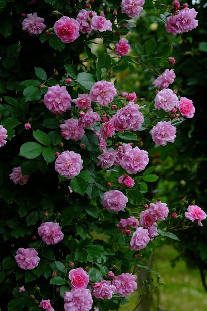 ミセスウッズ ''Mrs. Woods' Lavender-Pink Noisette'' Woods (米) Found N
