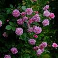 写真: ミセスウッズ ''Mrs. Woods' Lavender-Pink Noisette'' Woods (米) Found N