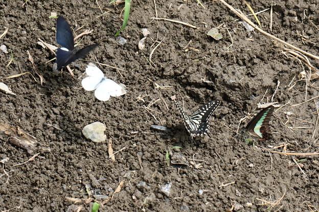 四種類の蝶たちが、揃って吸水