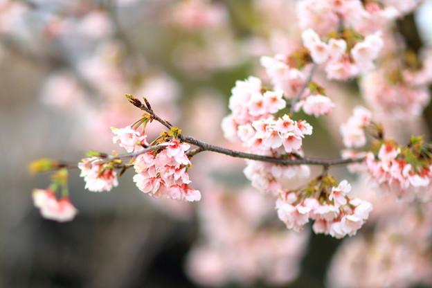 Photos: 川沿いの櫻