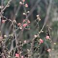 寒木瓜の花