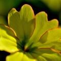 写真: 黄色のハート