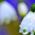 写真: 春雨