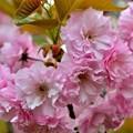 写真: 最後の桜