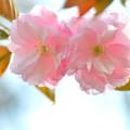 Photos: 最後の桜