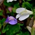 写真: 白と紫
