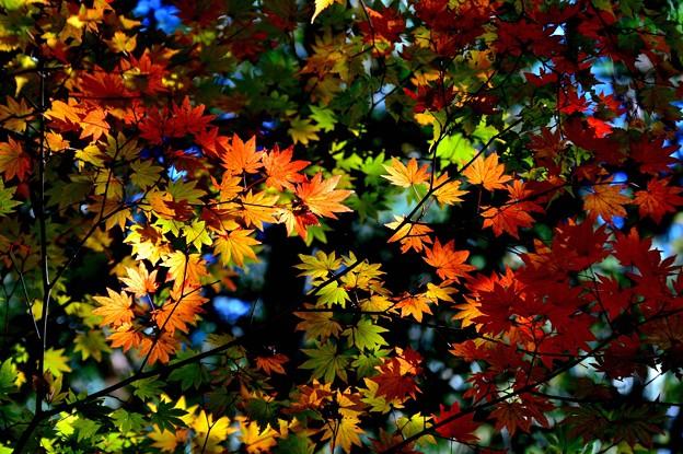 写真: 今年の紅葉は