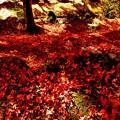 写真: 紅葉絨毯