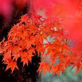 写真: 燃える赤へ
