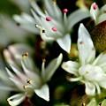 寒さが好きな花たち