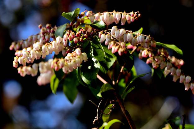 Photos: 咲き進んで