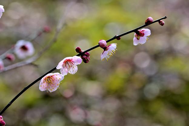 Photos: 梅香る