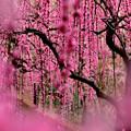 写真: 梅が降る日
