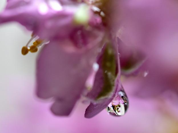 写真: 桜 涙雨