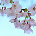 Photos: 桜日和